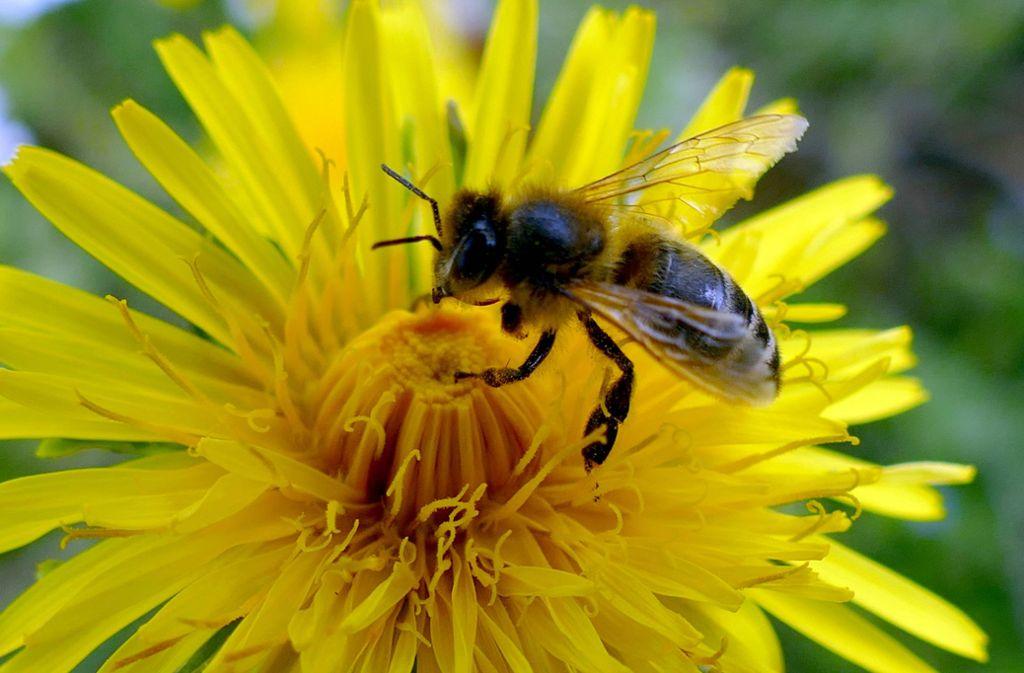 Bienen gelten als wichtige und fleißige Helfer zugleich. Foto: imago images