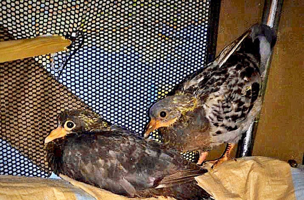 Diese geretteten jungen Tauben aus Zuffenhausen werden nun aufgepäppelt Foto: Verein Stadttauben
