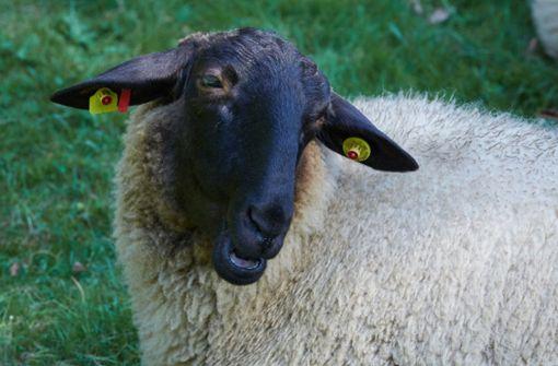 Mysteriöses Schaf verunsichert Autofahrer