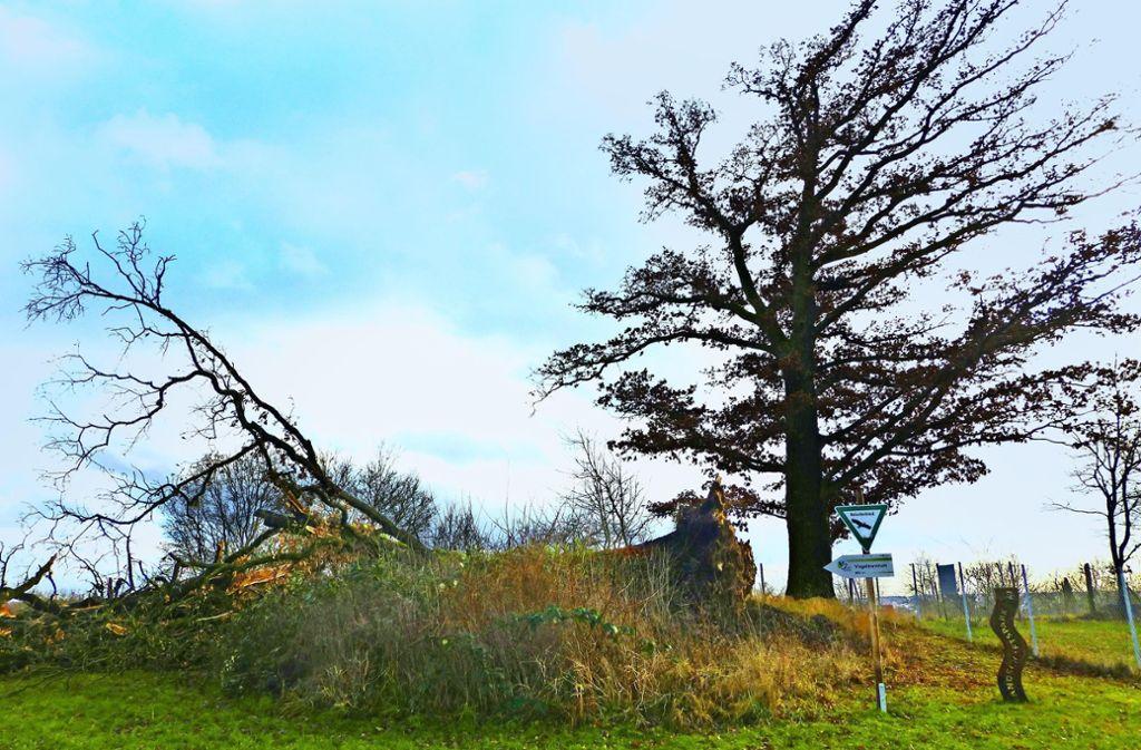 Eine der Eichen ist von Surm Burglind umgeweht worden. Foto: Stadt Sindelfingen