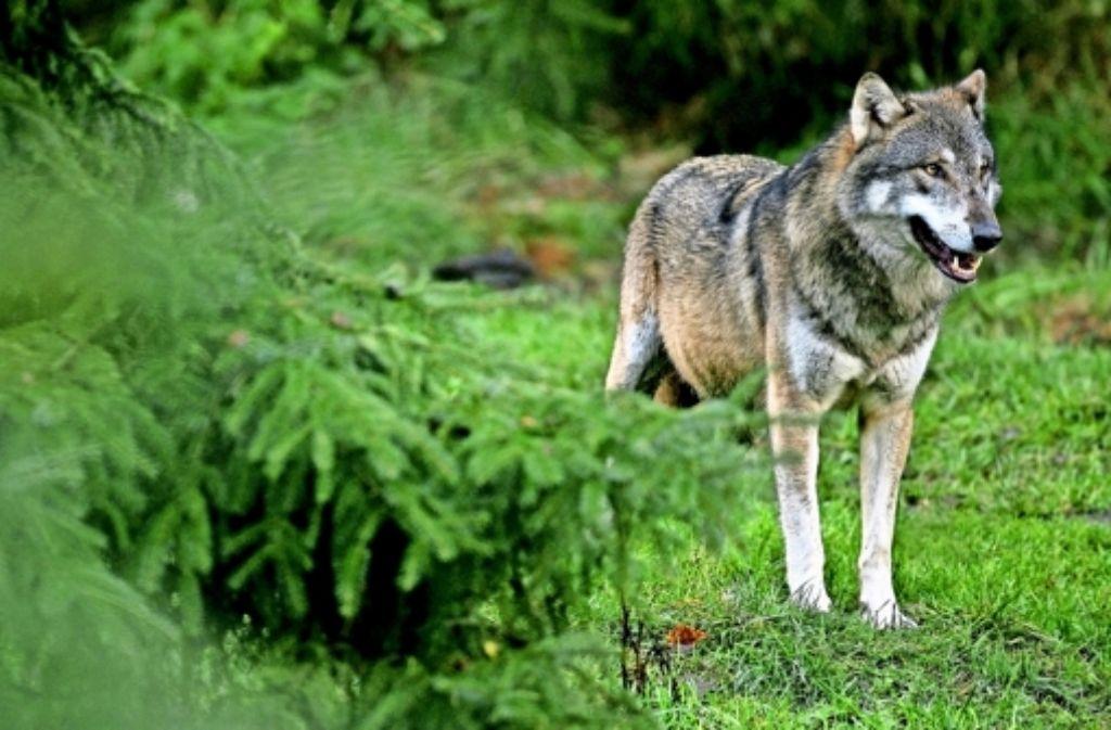 Der Wolf ist in Deutschland wieder heimisch. Auch Luchs, Vielfraß und Bär gibt es vielerorts in Europa – wir zeigen sie in einer Bildergalerie. Foto: dpa