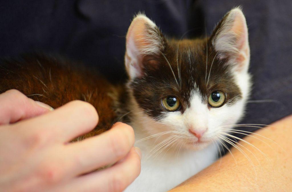 Sind Katzenhalter besonders gefährdet, sich mit dem Borna-Virus anzustecken? Foto: dpa/Uwe Anspach