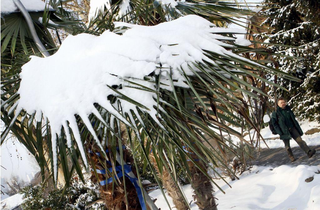 Palmen im Schnee – empfindliche Pflanzen mögen Kälte überhaupt nicht. Foto: dpa
