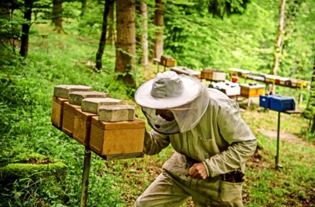 Ein scharfer Blick: Gerald Schleifer kontrolliert die Begattungskisten. Foto:martin Stollberg Royale Hoheit: die  Biene mit der Nummer 98 ist die Chefin des Volkes. Sie entstammt der aktuellen Züchterlinie Gekeler und wird unter anderem für ihre Sanftmut geschätzt. Foto: Martin Stollberg