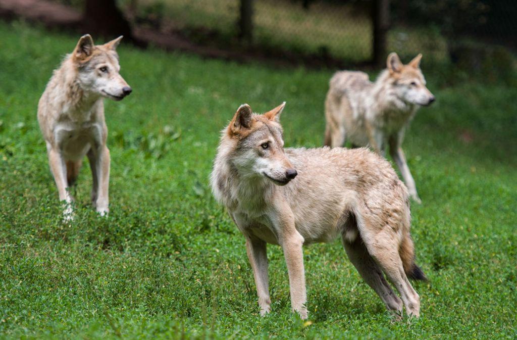 Bald schon könnten sich im Südwesten erste Wolfsrudel bilden. Foto: dpa