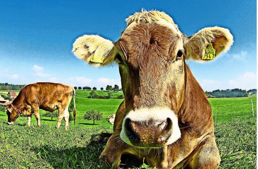 Auf der Weide fühlen sich Kühe am wohlsten. Das wurde auch im Test berücksichtigt. Foto: Rolf Fassbind/AdobeStock