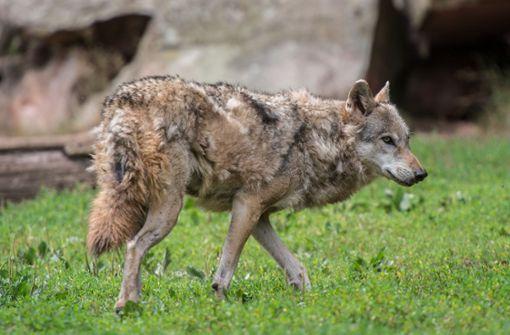 Am Stadtrand Wolf gesehen?