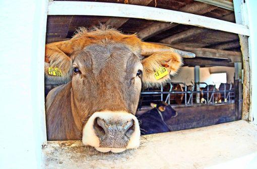 Urteil gegen Bauer wegen toter Kuh