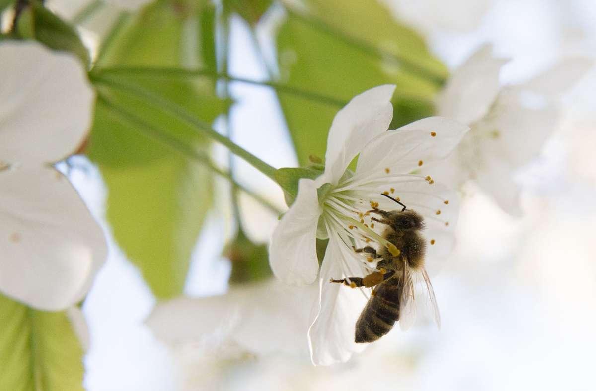 Nahrungsaufnahme: Eine Biene an einer Kirschblüte Foto: Summtgart und proBiene/Benedikt Adler