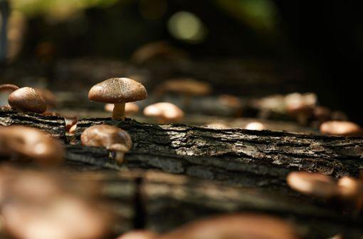Zu Hause Pilze ernten