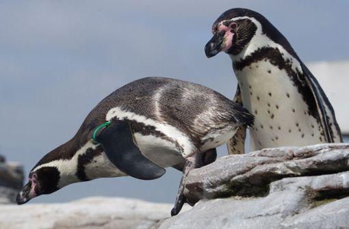 Pinguine erkunden leere Aquarium-Anlagen