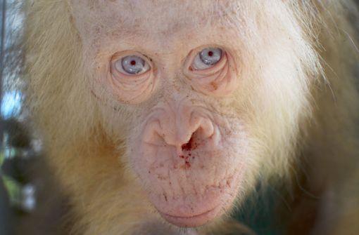Weiße Orang-Utan-Dame darf zurück in Freiheit