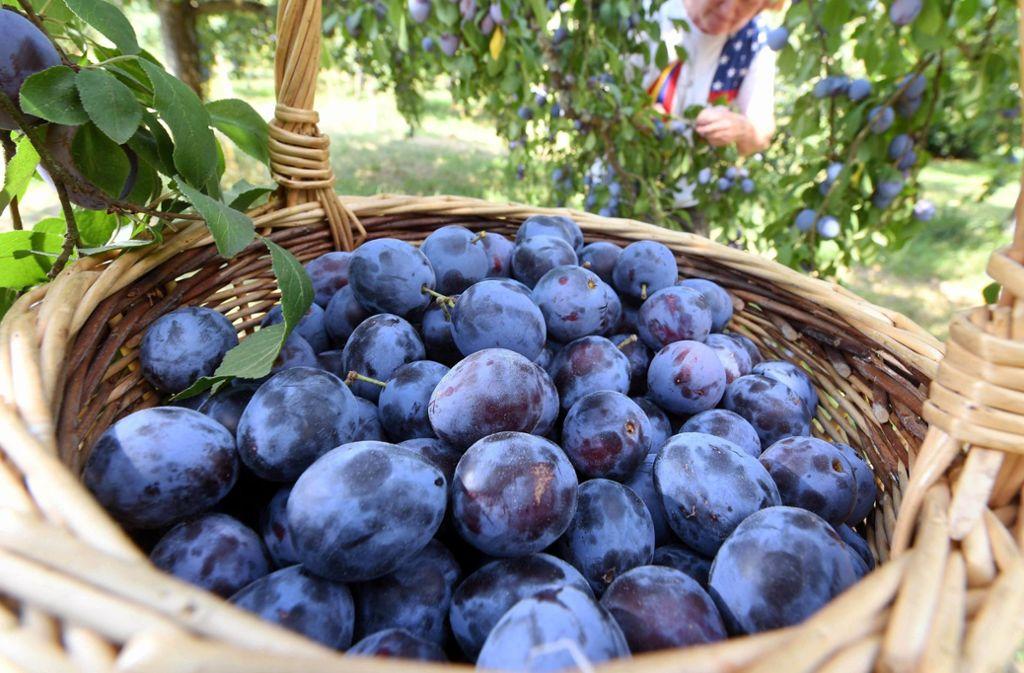 Die Obstbauern in Herrenberg hoffen auch eine reiche Zwetschgen-Ernte (Symbolbild). Foto: dpa
