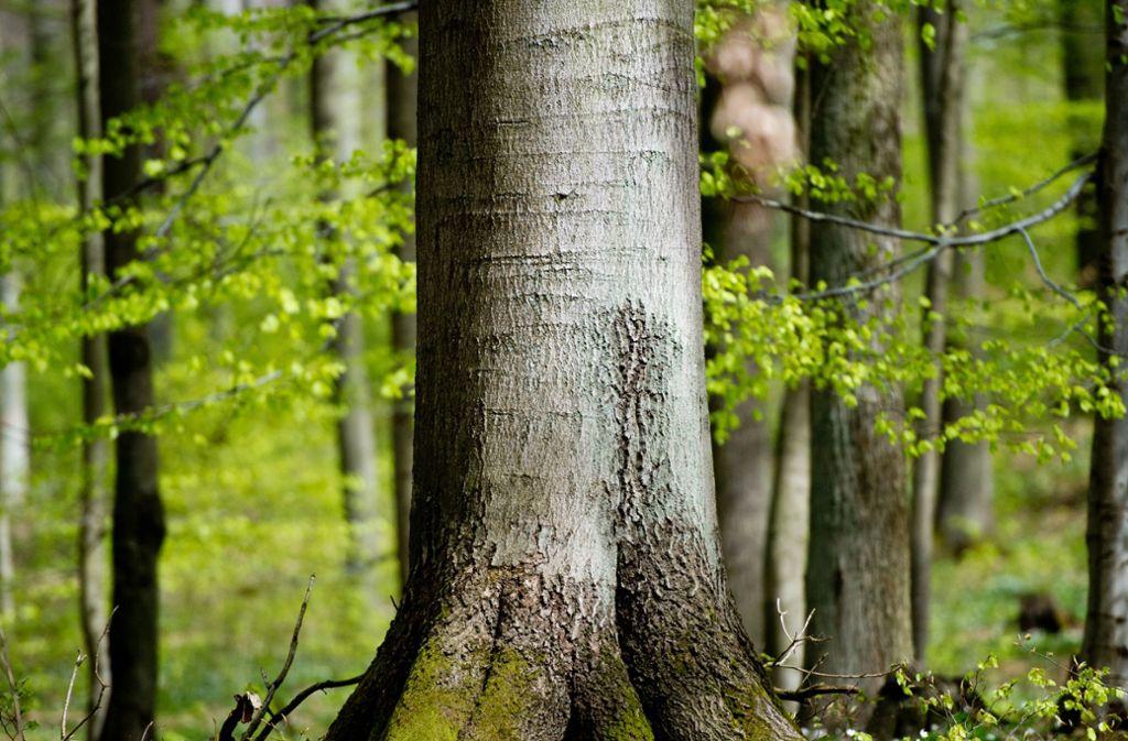 Die Isländer empfehlen, sich einen Baum tiefer im Wald auszusuchen, damit nicht einer mehrmals umarmt und zur Infektionsquelle wird. Foto: picture alliance / dpa/Patrick Pleul