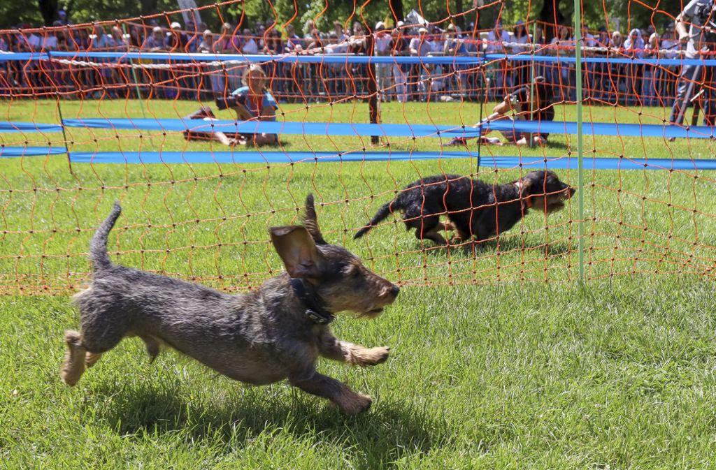 Es  geht es um die Wurst: Zwei Teilnehmer  beim Ersten Ludwigsburger Dackelrennen. Foto: