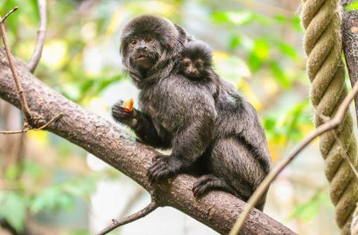 Gorillas bekommen Äffchen als Nachbarn