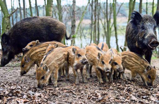 Stadt rüstet sich für Schweinepest
