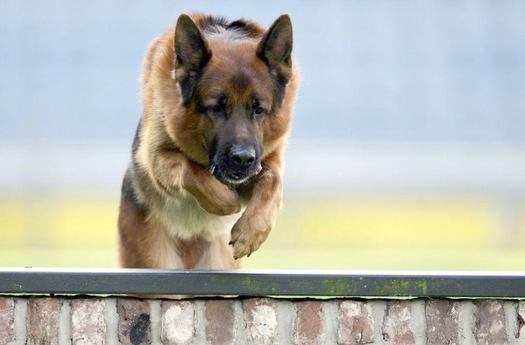 Ein Schäferhund hat im Landkreis Schwäbisch Hall einen Chihuahua totgebissen (Symbolfoto). Foto: dpa