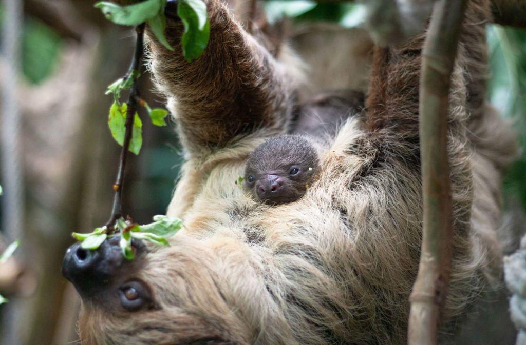 Fest klammert sich das neugeborene Faultier an Edekas Bauch. Foto: Wilhelma Stuttgart / Inga Dauter