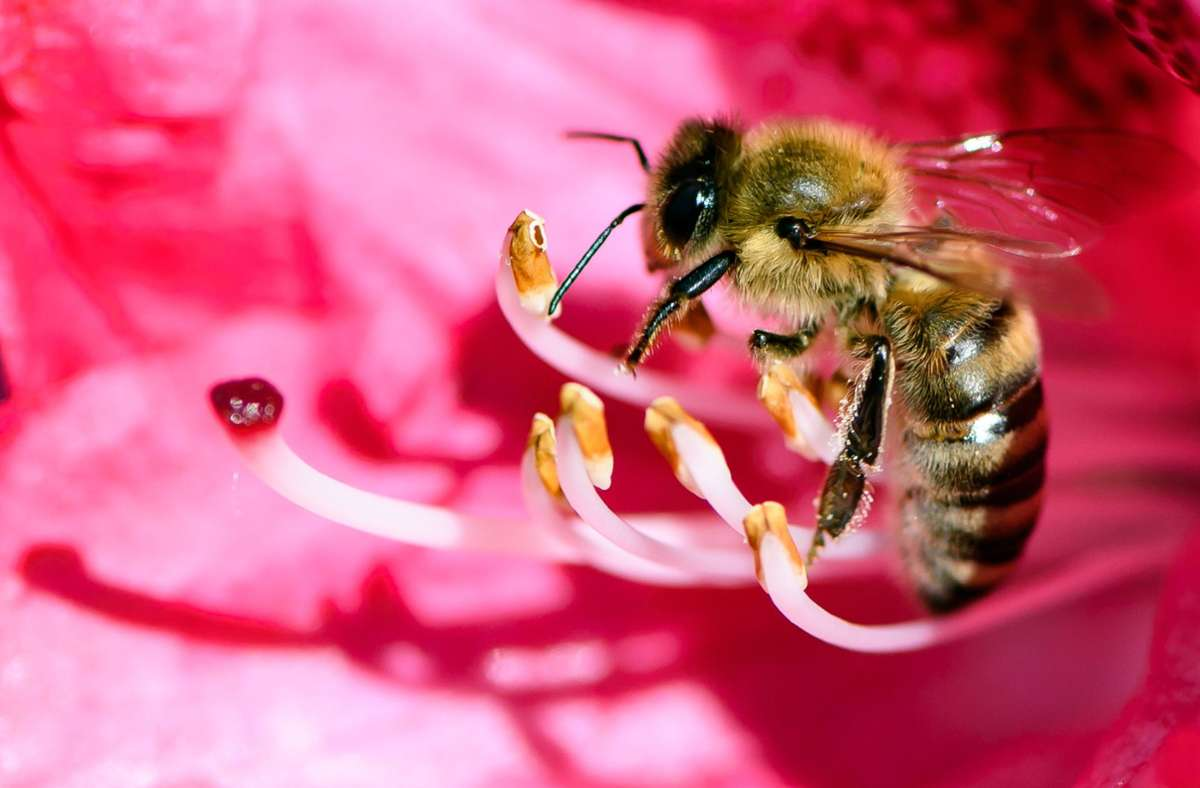 ine Biene ist in der Blüte von einem Rhododendron zu sehen. Am 20. Mai ist Weltbienentag. Foto: Swen Pförtner/dpa