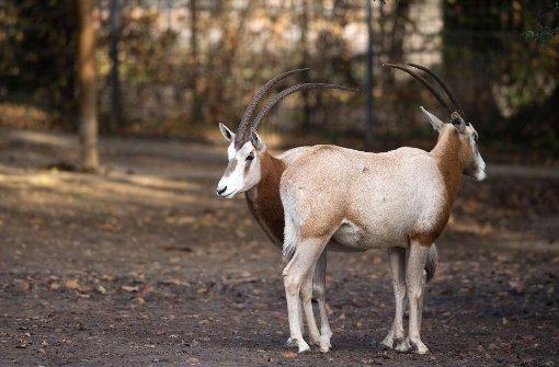 Drei Säbelantilopen sollen für Nachwuchs sorgen