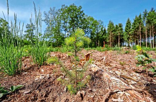 3500 Douglasien sollen dem Klimawandel trotzen