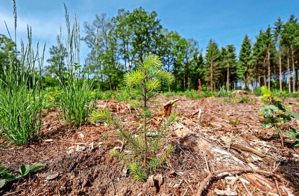Der Wald von morgen: Douglasien im Sersheimer Forst. Foto: factum/