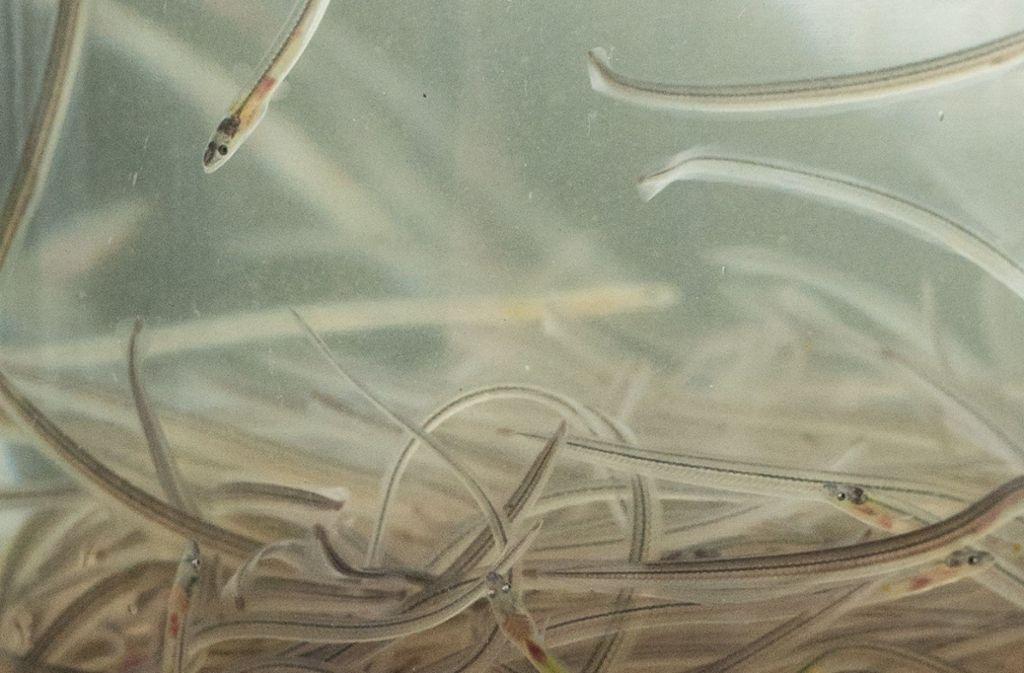 Glasaale sind junge, fast durchsichtige europäische Aale, die vom Aussterben bedroht sind. Foto: dpa