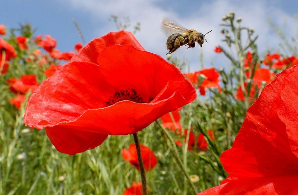 Auch in Baden-Württemberg geht  die Zahl der Insekten deutlich zurück. Foto: dpa/Thomas Warnack