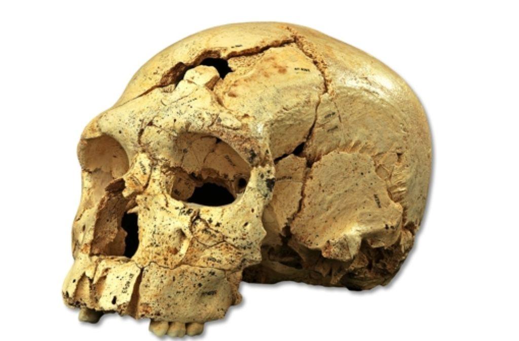 Dieser Schädel aus Nordspanien zeigt Merkmale des Neandertalers. Foto: