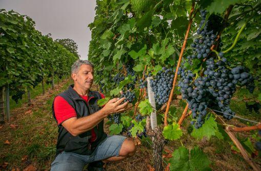 Weingärtner in Stadt und Kreis rechnen mit gutem Jahrgang
