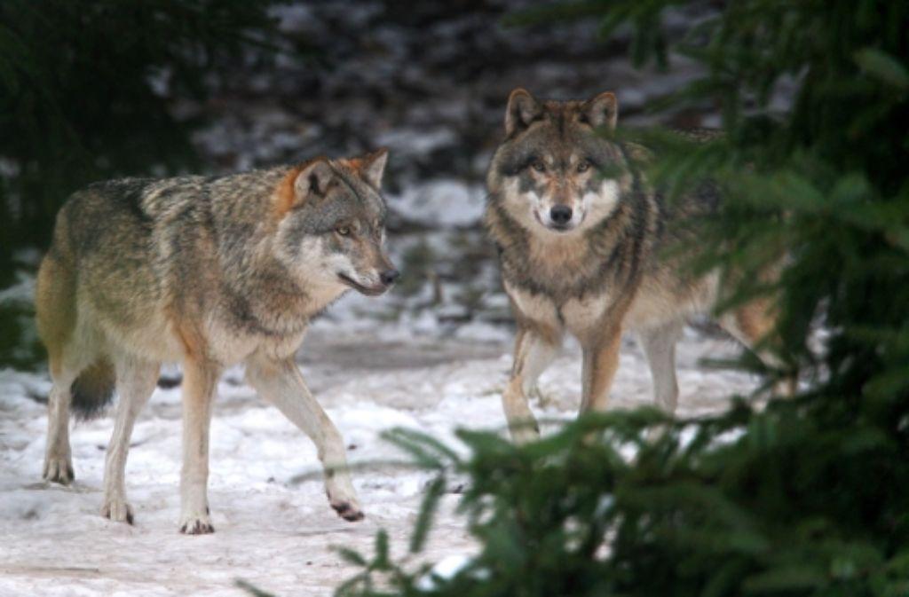 Bald werden die ersten Wölfe auch in Baden-Württemberg erwartet. Foto: dpa