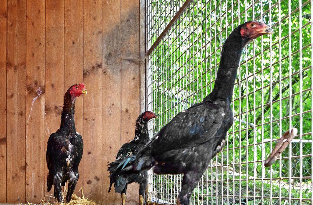 Ein  Experte vermutet, dass die Hühner verbotenerweise bei Kämpfen eingesetzt werden sollten. Foto: Oliver Bürkle