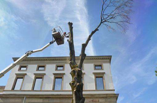 Blutbuche am Stuttgarter Stadtpalais gefällt