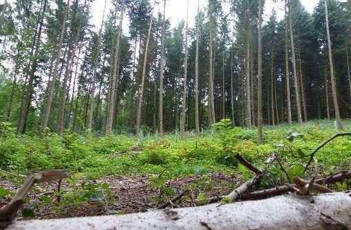 Borkenkäfer nagt am Baum des Jahres