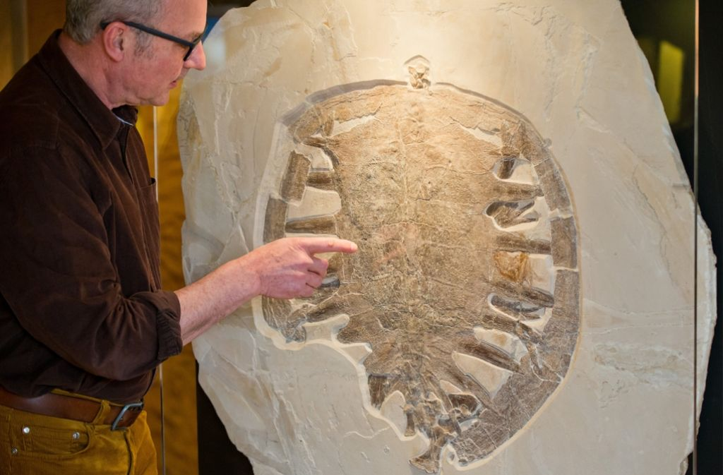 Matthias Mäuser (Bild), Leiter des Naturkunde-Museums Bamberg, neben dem 150 Millionen Jahre alten Fossil. Nach Angaben des Museums hat das versteinerte Tier einen Durchmesser von 64 Zentimetern und ist eine neue Art. Foto: dpa