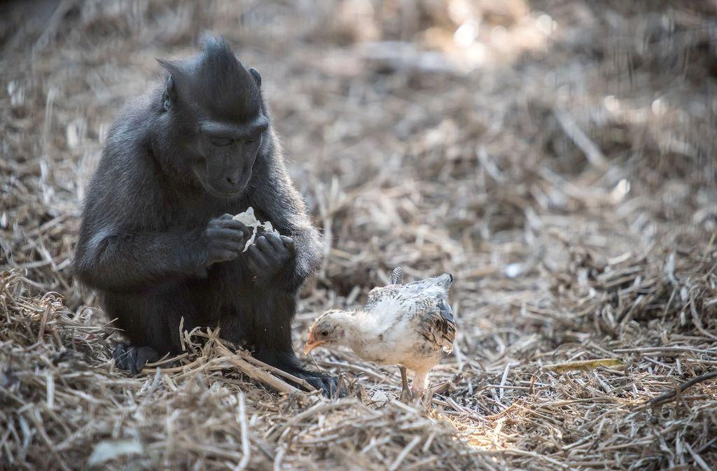 Die Makakendame und das Küken suchen immer wieder die Nähe des Anderen. Foto: dpa