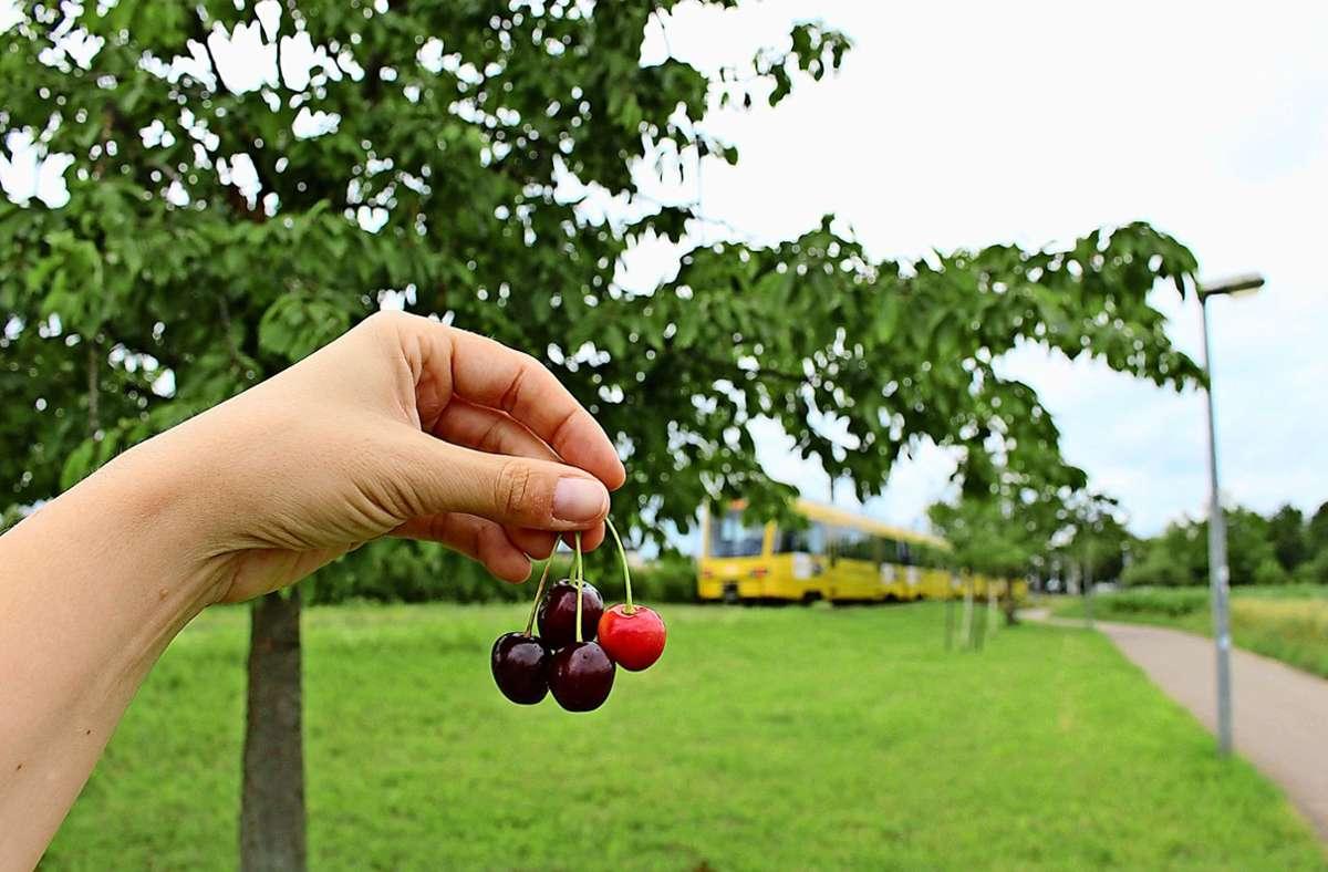 Die Kirschbäume an der Bahnlinie zwischen Heumaden und Ruit werden von Passanten munter abgeerntet Foto: Caroline Holowiecki