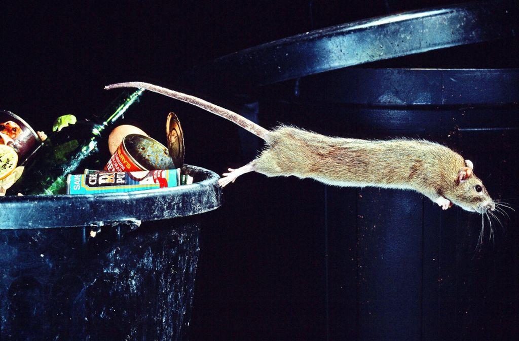 Die Anwohner  in Rohr haben Angst, die Nager  könnten Krankheiten übertragen. Foto: Mauritius