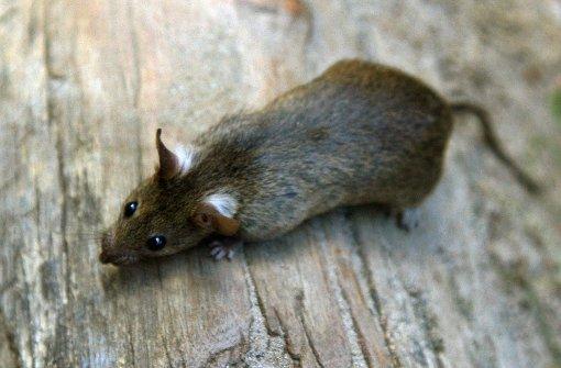 Angeblich tote Ratte in Kleid eingenäht