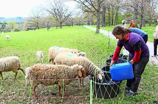 Schreiende Schafe alarmieren Anwohner