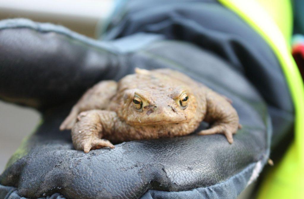 Kröten auf ihrer Wanderung zum Laichgewässer müssen oft vor Autos und anderen Gefahren gerettet werden. Foto: Rebecca Stahlberg