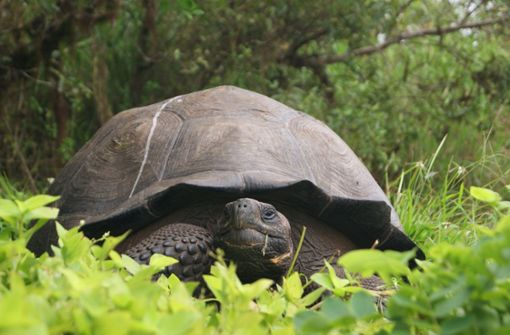 Seltene Galápagos-Schildkröte entdeckt