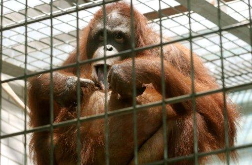 Orang-Utan auf Flucht erschossen