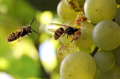 Droht dieses Jahr eine Wespen-Plage?