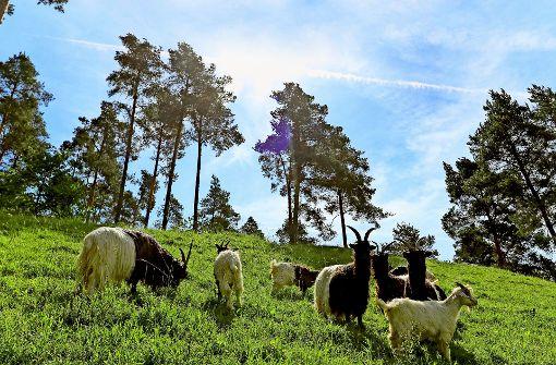 Schafe und Ziegen fressen im Dienste der Stadt