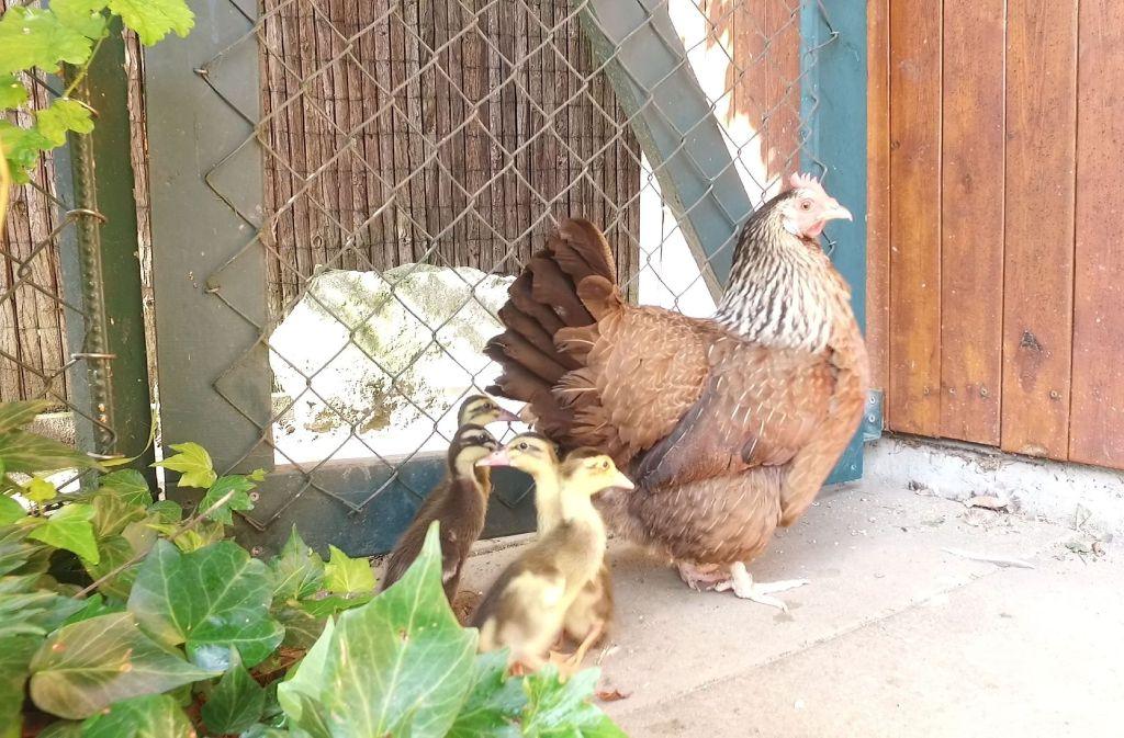 Huhn Emma hat die kleinen Enten ausgebrütet. Foto: SDMG