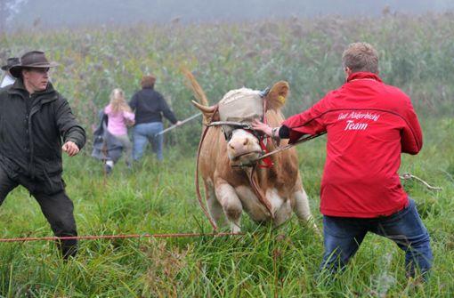 Berühmteste Kuh Bayerns eingeschläfert