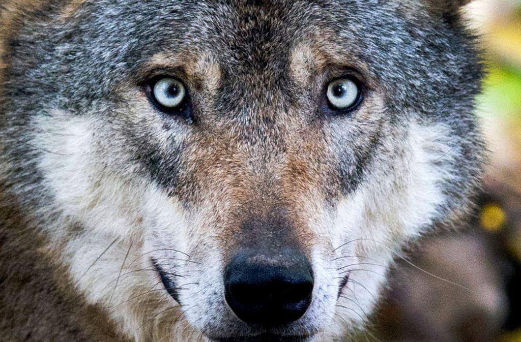 Ein Wolf hat in Baden-Württemberg drei Schafe gerissen. (Symbolbild) Foto: dpa