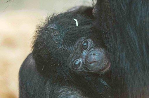 Noch mehr Bonobo-Babys